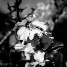 Un nas i un ametller, cerquen la flor…